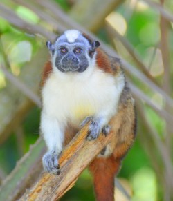Tamarin Monkey in the Gamboa Rainforest