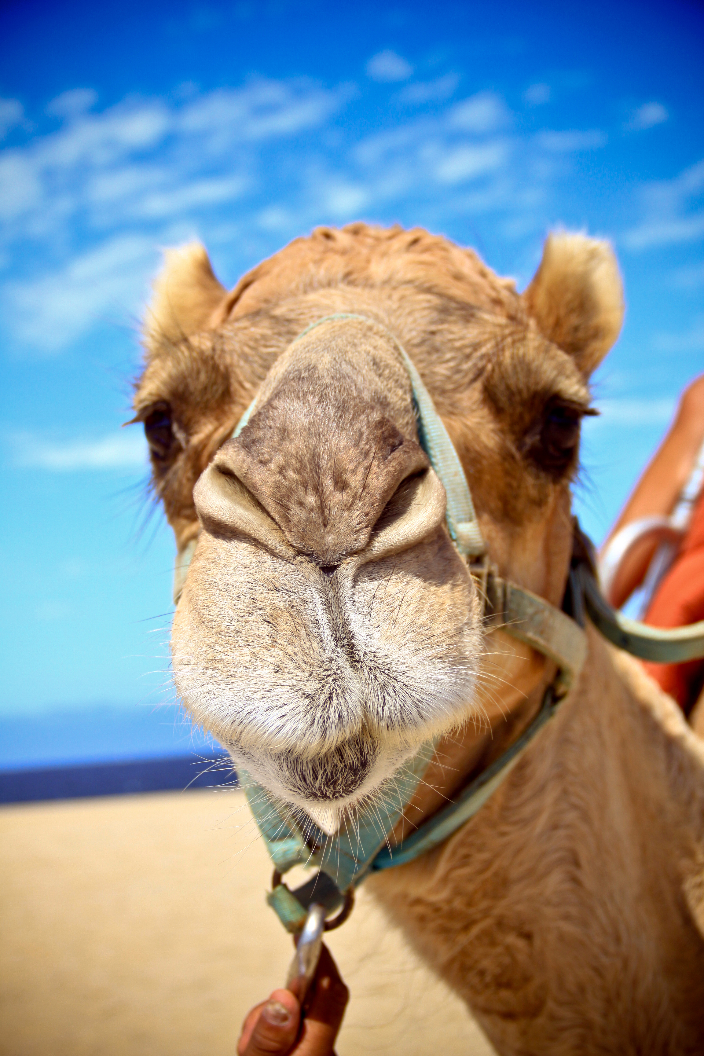 Camel rides make for a memorable destination wedding experience